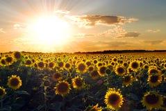 Zonnebloemen bij Zonsondergang Royalty-vrije Stock Foto's