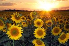Zonnebloemen bij Zonsondergang Stock Afbeeldingen