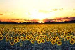 Zonnebloemen bij Zonsondergang Royalty-vrije Stock Afbeeldingen
