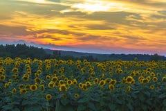 Zonnebloemen bij Zonsondergang Stock Foto's
