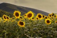 Zonnebloemen bij zonsondergang Royalty-vrije Stock Afbeelding