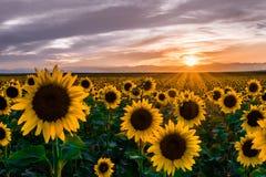 Zonnebloemen bij zonsondergang