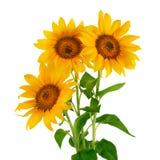Zonnebloemen in bloei stock foto
