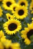 Zonnebloemen in bloei Stock Fotografie