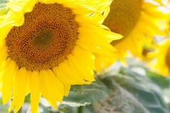 Zonnebloemen in de nabijheid royalty-vrije stock afbeelding