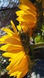 Zonnebloemen in de ochtend stock afbeelding