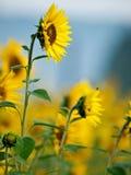 Zonnebloemen in de ochtend royalty-vrije stock fotografie