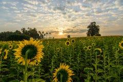 Zonnebloemen in de ochtend Stock Foto