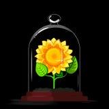 Zonnebloemen in de serre Stock Afbeeldingen