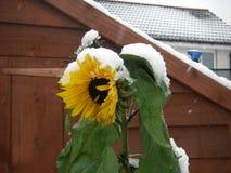 Zonnebloemen in de sneeuw stock afbeeldingen