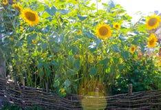 Zonnebloemen in de tuin royalty-vrije stock foto's