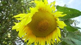 Zonnebloemen in de tuin stock videobeelden