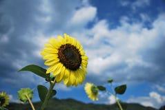 Zonnebloemen in de wind royalty-vrije stock fotografie