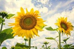 Zonnebloemen in de zomer Royalty-vrije Stock Afbeelding