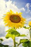 Zonnebloemen in de zomer Royalty-vrije Stock Afbeeldingen
