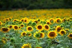 Zonnebloemen in de zomer Stock Afbeelding