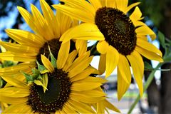 Zonnebloemen in de Zomer zijn gebarsten die Stock Foto