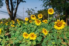 Zonnebloemen in de zomerzonlicht op de groene tuin stock foto