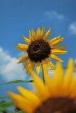 Zonnebloemen in de zon stock foto