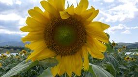 Zonnebloemen in dicht bewolkt weer onder zonlicht royalty-vrije stock foto