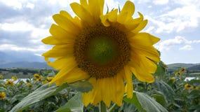 Zonnebloemen in dicht bewolkt weer onder zonlicht stock afbeeldingen