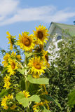 Zonnebloemen dichtbij het huis in een dorp Stock Afbeelding