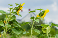 Zonnebloemen dichtbij het huis in een dorp Royalty-vrije Stock Afbeeldingen