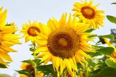 zonnebloemen die in de heldere blauwe hemel bloeien royalty-vrije stock foto's