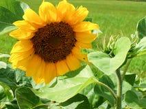 Zonnebloemen die in de tuin bloeien Royalty-vrije Stock Afbeelding