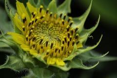 Zonnebloemen die in de zomer bloeien royalty-vrije stock fotografie