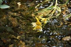 Zonnebloemen die in een bergstroom drijven royalty-vrije stock afbeeldingen