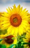 Zonnebloemen die in landbouwbedrijf met blauwe hemel bloeien Stock Afbeeldingen