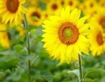 Zonnebloemen die in landbouwbedrijf met blauwe hemel bloeien Stock Afbeelding