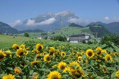 Zonnebloemen die op Alpiene Weide groeien stock foto