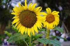 Zonnebloemen die op de vage achtergrond bloeien Royalty-vrije Stock Afbeelding