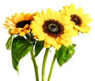 Zonnebloemen die op witte achtergrond worden geïsoleerdr Royalty-vrije Stock Afbeelding