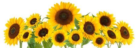 Zonnebloemen die op witte achtergrond worden geïsoleerdr royalty-vrije stock foto's