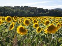 Zonnebloemen die op zonnebloemgebied wachten royalty-vrije stock foto's