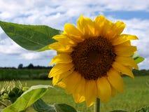 Zonnebloemen die tegen een heldere hemel bloeien Royalty-vrije Stock Fotografie