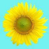Zonnebloemen die tegen een heldere hemel, op buleachtergrond bloeien royalty-vrije stock afbeelding