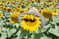 Zonnebloemen die zonbrandkast zijn Stock Afbeeldingen
