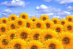 Zonnebloemen. Een collage Stock Afbeelding