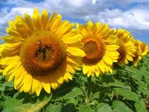 Zonnebloemen in een rij Stock Foto