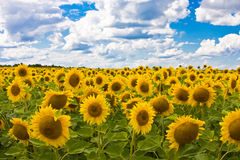 Zonnebloemen in een vloer op een achtergrond van de hemel w Stock Fotografie