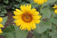 Zonnebloemen en bij Royalty-vrije Stock Fotografie