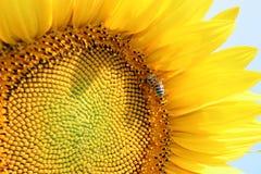 Zonnebloemen en bij stock foto's