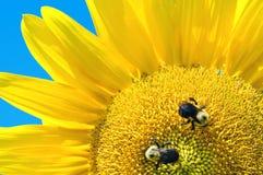 Zonnebloemen en bijen Royalty-vrije Stock Afbeeldingen