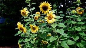 Zonnebloemen en Bijen stock footage