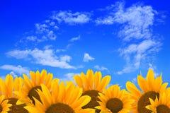 Zonnebloemen en blauwe hemel stock afbeelding