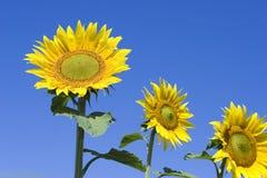 Zonnebloemen en blauwe hemel Stock Foto
